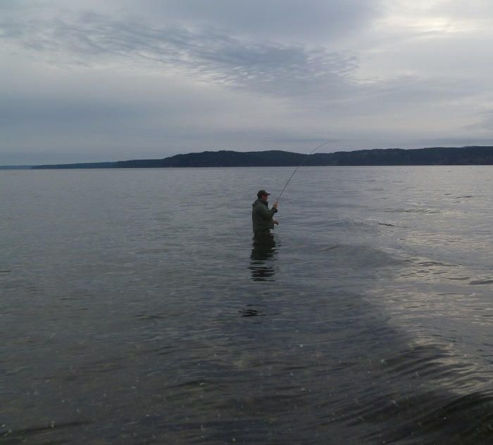 Angler hooked up with a saltwater sea run cutthroat for Puget sound fly fishing