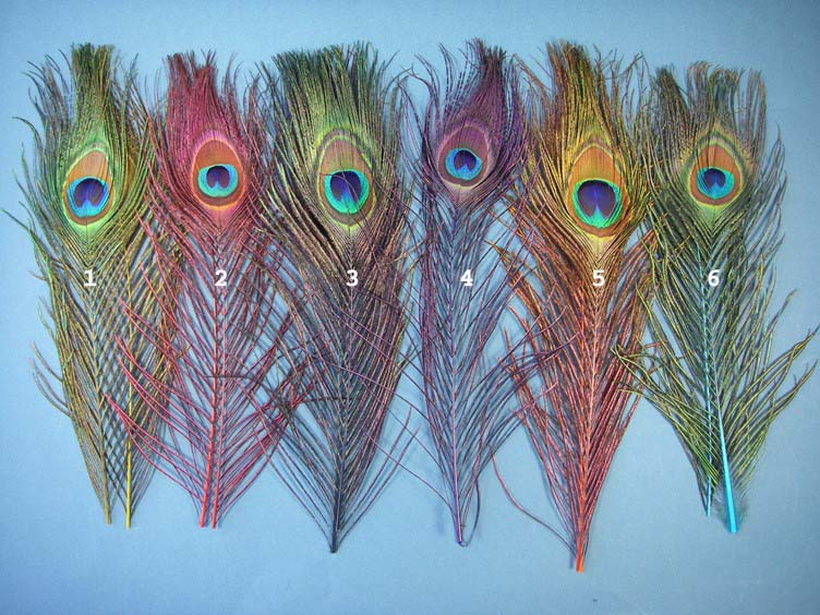 Natural Colour Peacock Eye Sticks Fly Tying